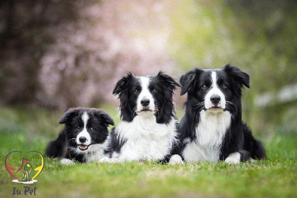 loài chó trung thành nhất thế giới