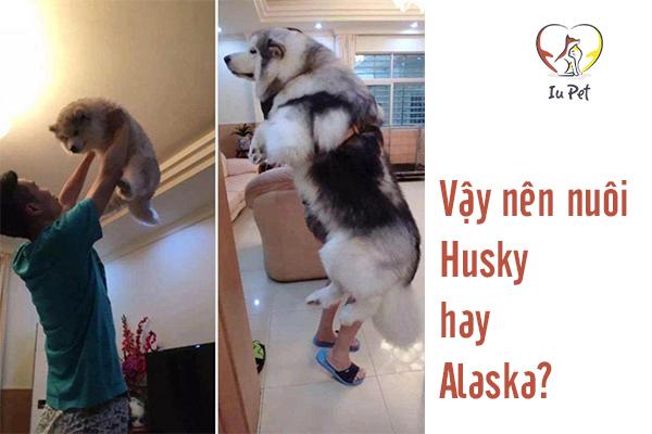 Nên nuôi chó Husky hay Alaska – Những giải đáp         hấp dẫn