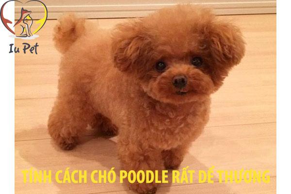 tính cách chó poodle - tinh cach cho poodle